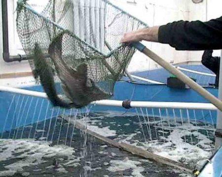 В Татарстане займутся разведением стерляди